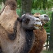 Two camels — Stock Photo #13255640