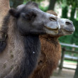 Two camels — Stock Photo #13255817