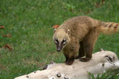 Coati walking on the Grass — Stock Photo