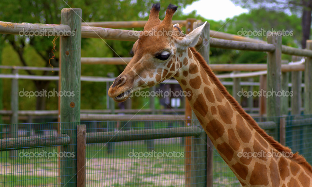Giraffe in a zoo  Stock Photo #13255232