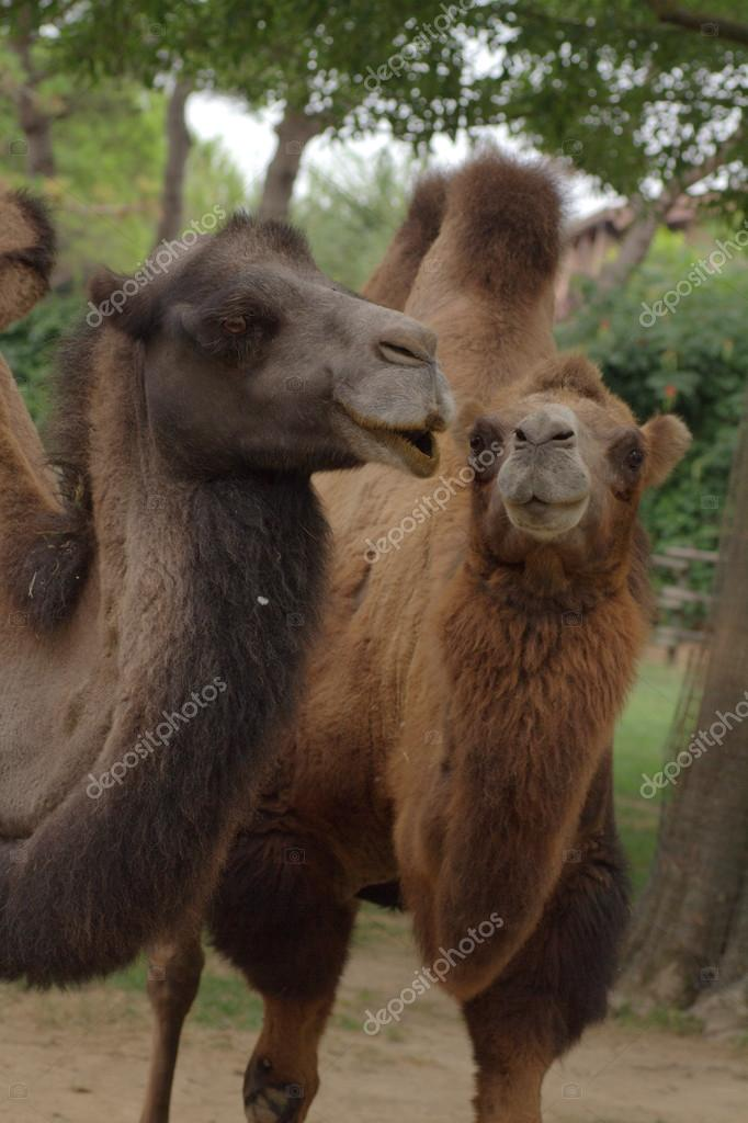 Two camels on a zoo — Stock Photo #13255340