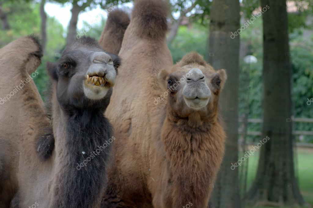 Two camels on a zoo — Stock Photo #13255430