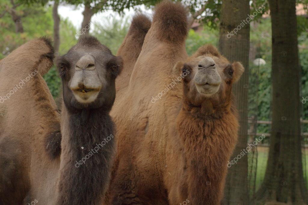Two camels on a zoo — Stock Photo #13255542