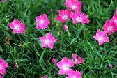 Rosa blommor på trädgården — Stockfoto