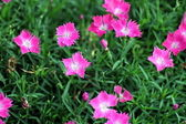 Pink flowers on the garden — Stock Photo