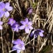 Stock Photo: Flowering wild Anemone hepatic(Hepaticnobilis)