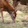 Mule deer grazing - Stock Photo