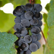 Grapes on the vine in the vineyard — Stock Photo