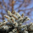 Close up of the young pine branches. — Stock Photo #37928615