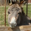 Donkey — Stock Photo #42977689