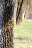 Tree trunks on a row — Stock Photo