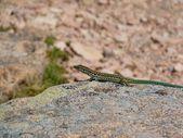 Small Rock Lizard Close Up — Stock Photo