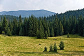Pine Tree Forrest in the Montains — Stock Photo