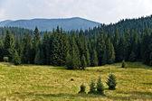 Kiefer baum forrest im erzgebirge — Stockfoto