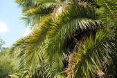 Liście palmowe — Zdjęcie stockowe