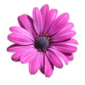 Lilac daisy — Stock Photo
