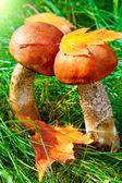 Two aspen mushroom — Stock Photo