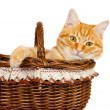Rad cat sitting in the bascket — Stock Photo