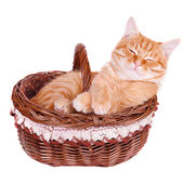 Crafty cat is in the basket — Stockfoto
