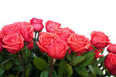 Pink roses — Stock Photo