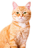Red cat on a white background, isolated — Stok fotoğraf
