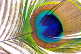 Peacock feather closeup — Stok fotoğraf