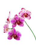 Orchidée rose isolée sur fond blanc — Photo