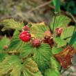 Mountain raspberry — Foto Stock #12745410