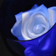 White rose in a blue glass - Stock Photo