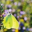 Brimstone butterfly closeup - Stock Photo
