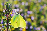 Brimstone butterfly closeup — Stock Photo