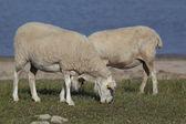 Flock of sheep, Ebro reservoir, Burgos, Castilla y Leon, Spain — Stock Photo
