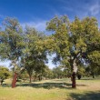 Cork oak, Monfrague, Caceres, Extremadura, Spain — Stock Photo