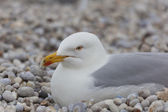 Seagulls in the beach of Etretat, Haute Normandie, France — Stock Photo