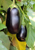 Purple eggplants growing on the bush — Stock Photo