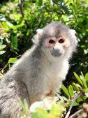 Squirrel monkey sitting on tree branch — Stock Photo
