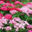 Beautiful red and pink flowers - Stock Photo