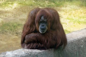 Sad orangutan — Stock Photo