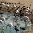 Pink flamingos and black herons - Stock Photo
