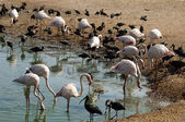 Pink flamingos and black herons — Stock Photo
