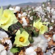 Cotton ready for harvesting — Stock Photo