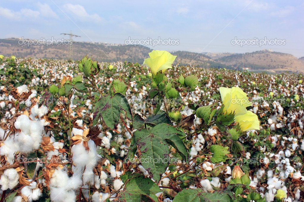 Cotton fields white with ripe cotton ready for harvesting  Stock Photo #13471534