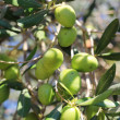 Stock Photo: Ripe green olives on branch