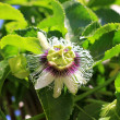 Stock Photo: Passion flower blooming