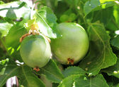 Green fruit of Passiflora — Stock Photo