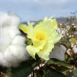 Flower of cotton — Stock Photo