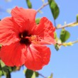 Red flower of chinese hibiscus — Stock Photo #15412857