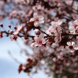 Blossom  tree - Stock Photo