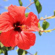 Red flower of chinese hibiscus — Stock Photo