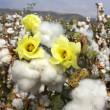 Stock Photo: Harvest of cotton